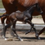 Sunsprite Sargasso Sea 2015 colt by Sea Lion